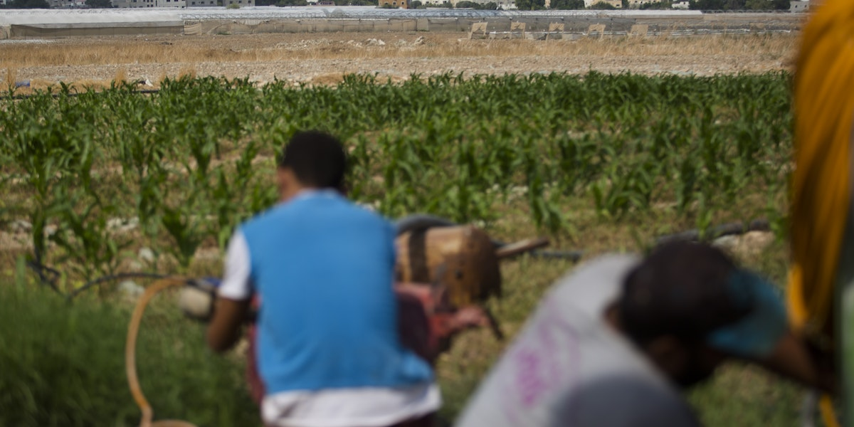 TAL AL BEIDA, WEST BANK - SEPTEMBER 11: Palestinian work on a corn field in the occupied West Bank Jordan Valley on September 11, 2019 in Tel Al Beida, West Bank. Netanyahu pledges to annex the Jordan Valley in the occupied West Bank, if he is re-elected during the Israeli Elections on September 17.  (Photo by Amir Levy/Getty Images)